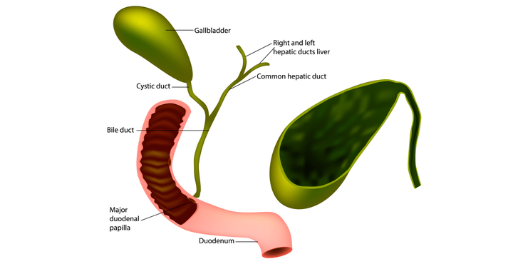 gallbladder and bile duct